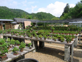 Bonsai nursery Miura Baijuen