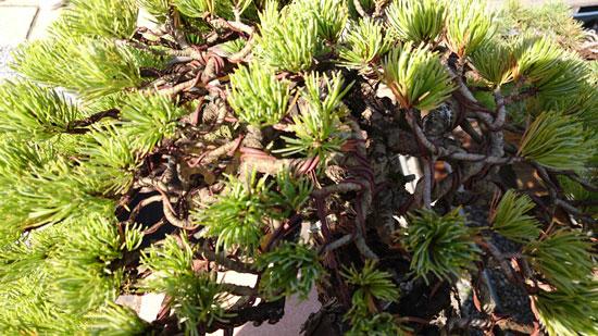 盆栽 ナマシ銅線