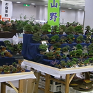 Gafu-ten Shouhin (Small) Bonsai Japan Kyoto