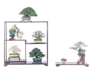 Japanese Shouhin bonsai (small bonsai )