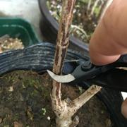 盆栽 又枝切 バネ付