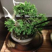 盆栽 松葉抜きピンセット