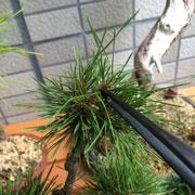 盆栽 松葉抜き用ピンセット